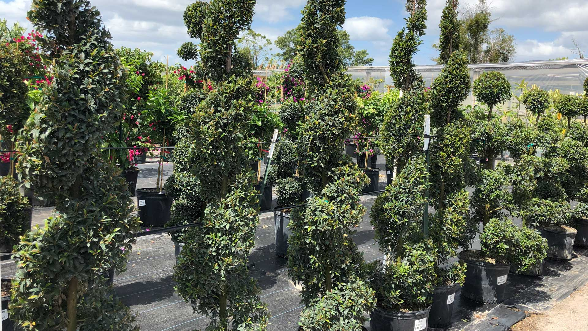 Decorative green shrubs on display at our nursery in Orlando, FL
