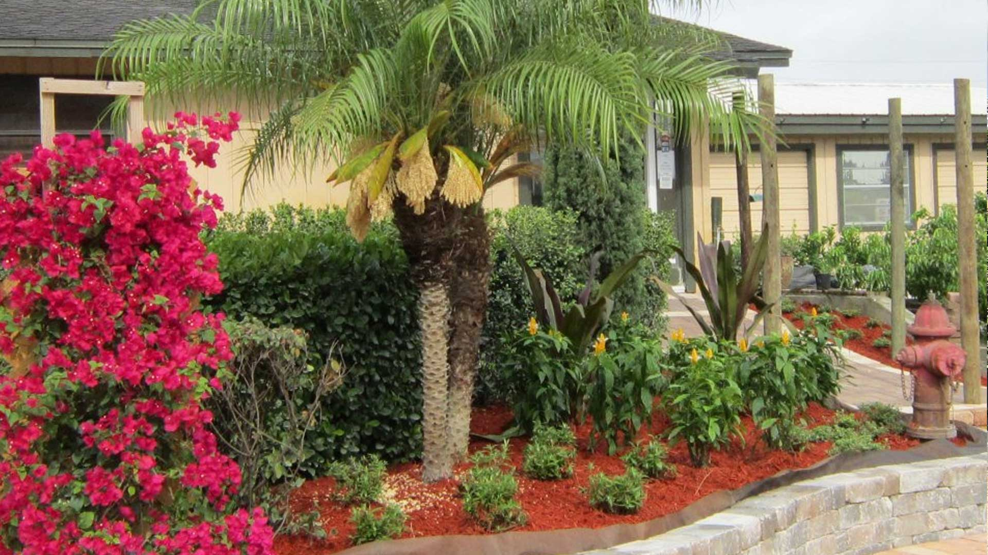 The landscaping at the front entrance to our nursery featuring a Bougainvillea, Pygmy Date Palm planted inside of a raised planter bed.