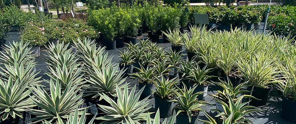 Plants, shrubs, and flowering plants at our nursery in Gotha, FL.